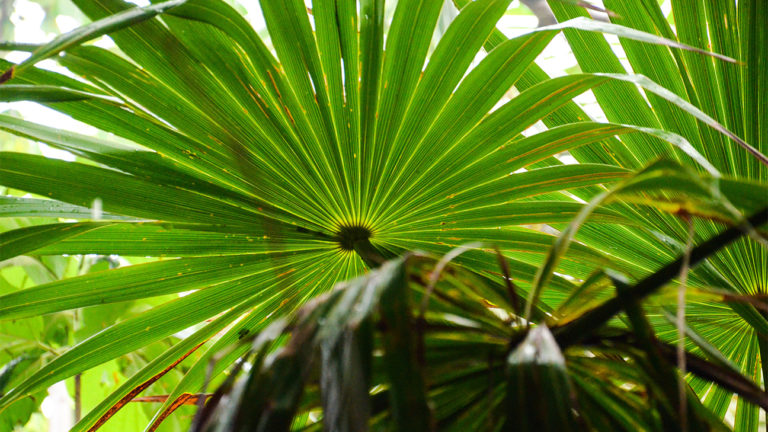 Saw Palmetto for Hair Loss: Effectiveness, Dosing, and Side-Effects